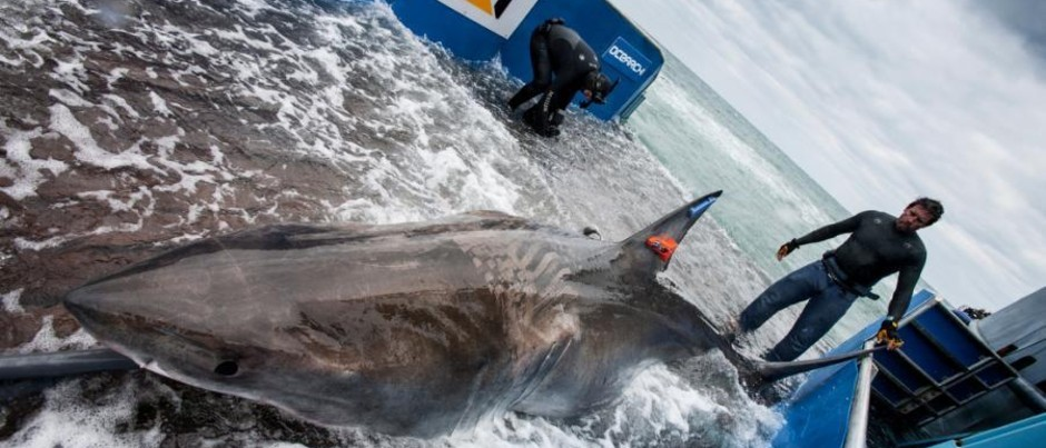 First White Shark to Cross Atlantic