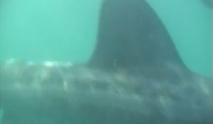 Basking Sharks
